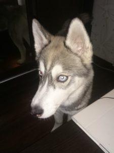 Розыск щенка хаски в Красногорске