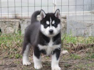 Щенок Сибирский хаски (мальчик)