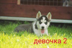 Щенки Сибирских хаски на продажу