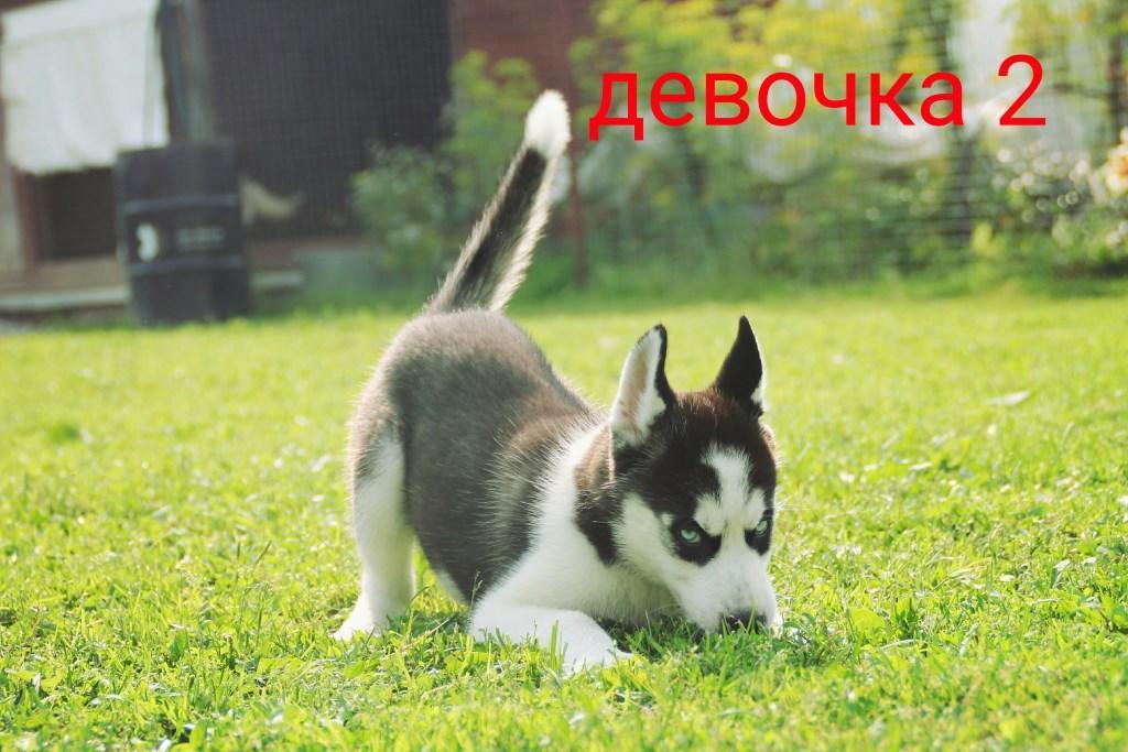 Обновлены фото щенков хаски на продажу - ХАСКИ КЛУБ