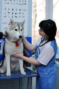 хаски у ветеринара