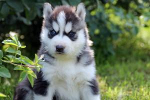 щенок хаски