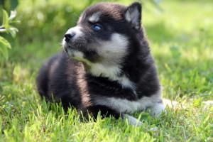 husky-puppy