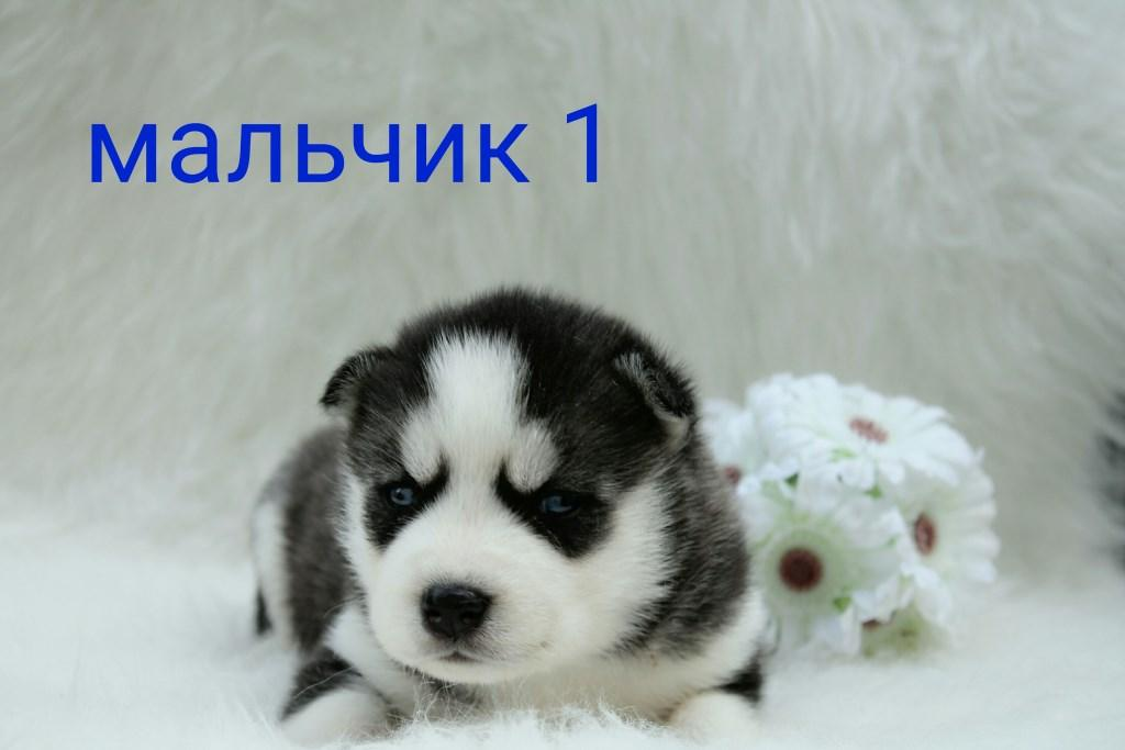 Встречаем помет щенков от Николь и Арчи - ХАСКИ КЛУБ