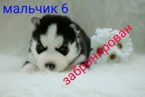 husky puppy sale