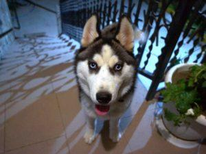 Attention! Lost husky!