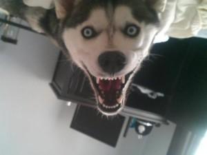 Страшный Хаски
