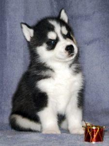sale husky puppies