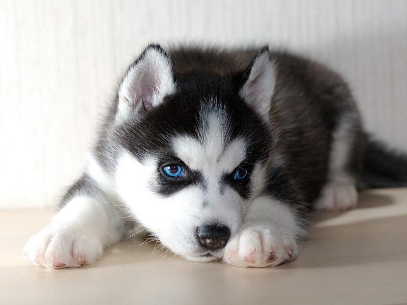 фото хаски щенки