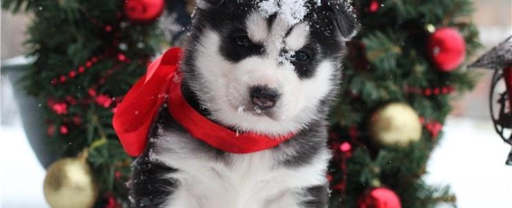 new_year_husky