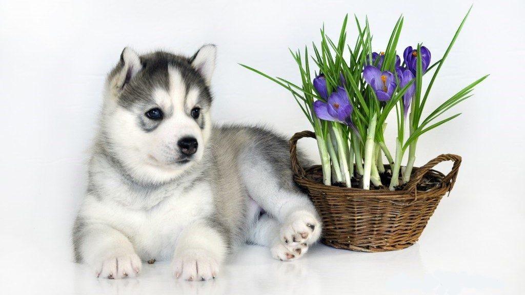 Цветов, открытка 8 марта щенок
