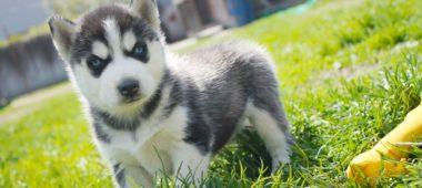 Продажа щенков Сибирских хаски из питомника