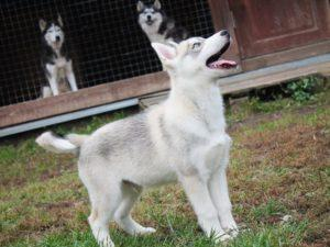 siberian husky puppy for sale