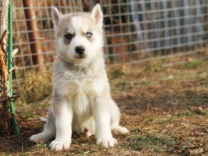 Siberian husky puppies for sale - male 1