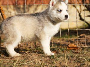 Siberian husky puppies for sale - male 2