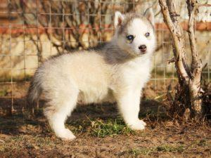 Siberian husky puppies for sale - male 3