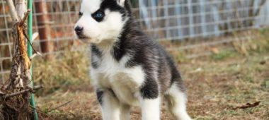 Siberian husky puppies for sale - male 4