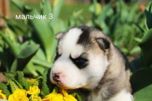 Щенки Сибирских хаски на продажу - кобель 3