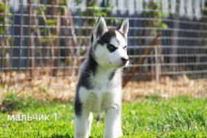 Siberian husky puppy for sale - male 1