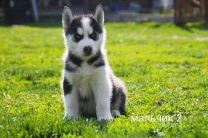 Siberian husky puppy for sale - male 2
