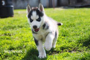 Siberian husky puppy for sale - male 3