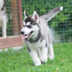 siberian husky puppy - boy