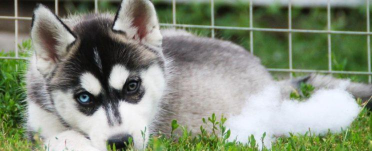 siberian husky puppy - girl 1