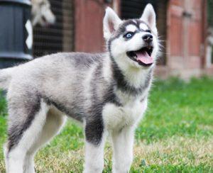 siberian husky puppy - girl 1