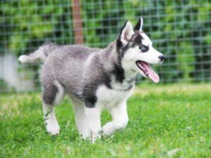 siberian husky puppy - girl 2