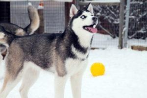 Продажа щенка Сибирских хаски из питомника Хаски клуб