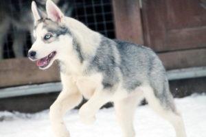Продажа щенка Сибирских хаски из Хаски Клуба