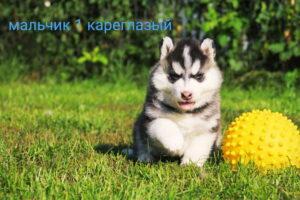 Щенок Сибирских хаски на продажу