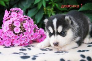 husky_female