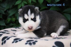 husky_male