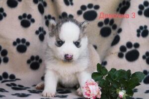 husky female 3