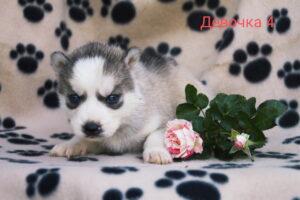 husky female 4