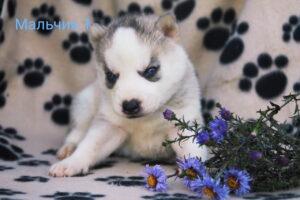 husky male 1
