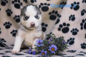 husky male 3