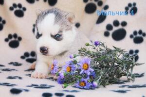 husky male 4