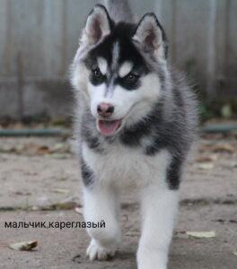 male husky